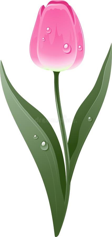 Красивейший розовый тюльпан иллюстрация штока