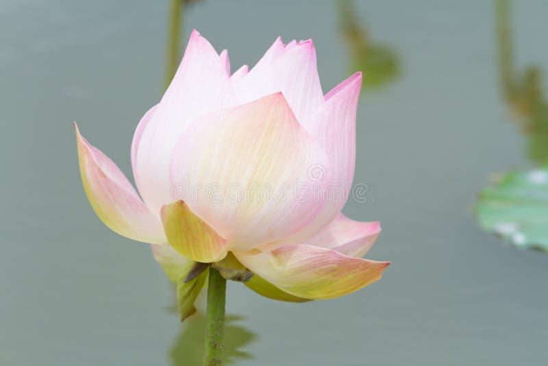Красивейший розовый цветок лотоса в пруде стоковое фото