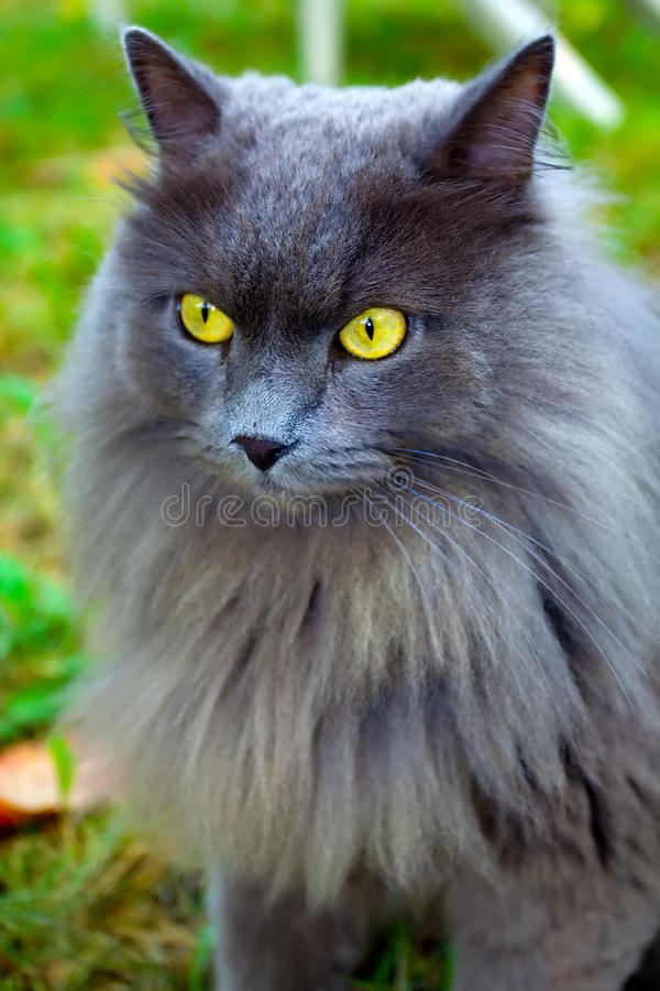 красивейший серый цвет кота стоковое фото