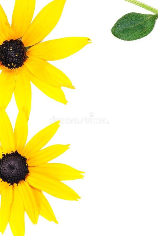 красивейший солнцецвет картины стоковая фотография