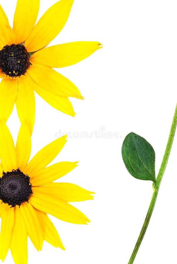 красивейший солнцецвет картины стоковое изображение
