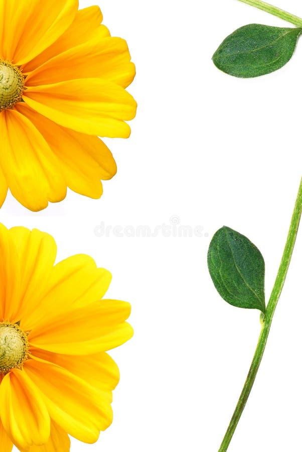 красивейший солнцецвет листьев стоковое фото