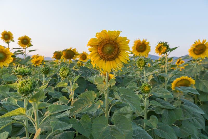 красивейший солнцецвет поля стоковое изображение