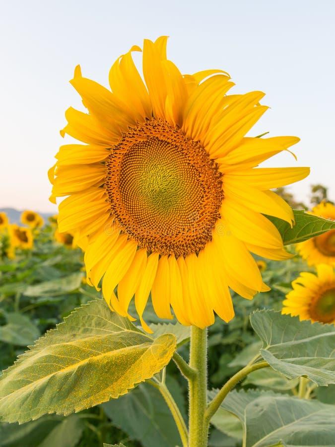красивейший солнцецвет поля стоковое изображение rf