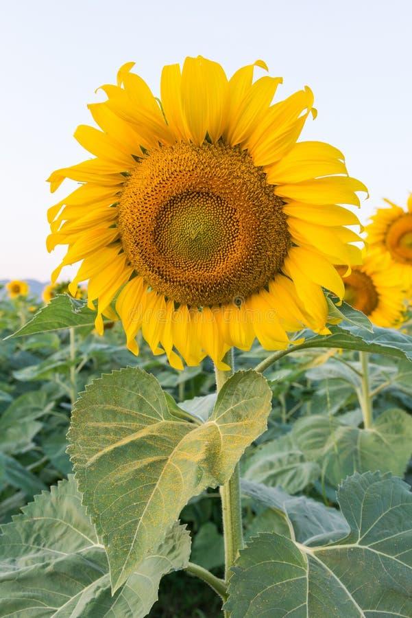 красивейший солнцецвет поля стоковая фотография rf