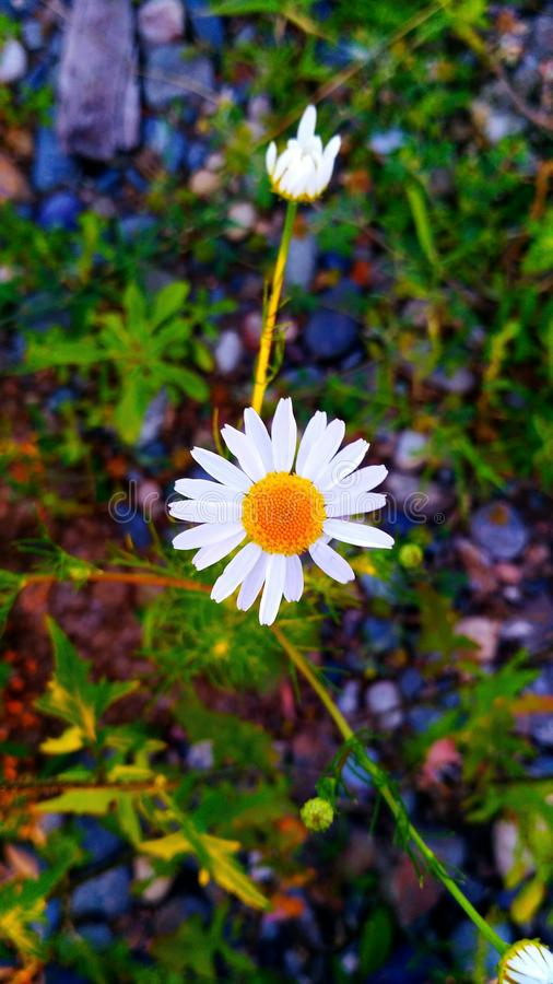 красивейший стоцвет стоковое изображение