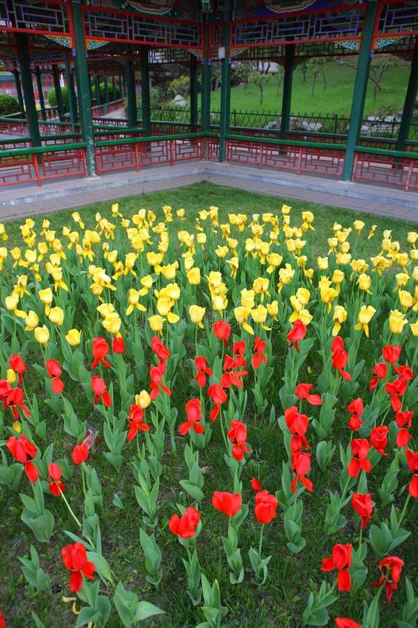 красивейший тюльпан парка Пекин стоковые фото