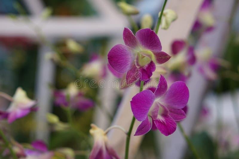 красивейший фиолет орхидеи стоковое изображение