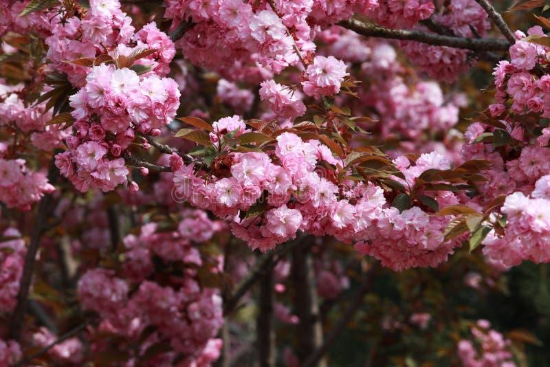 красивейший цветок бегонии стоковое изображение rf