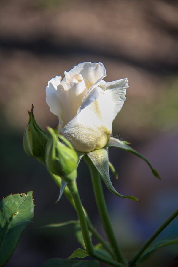 красивейший цветок поднял стоковые изображения