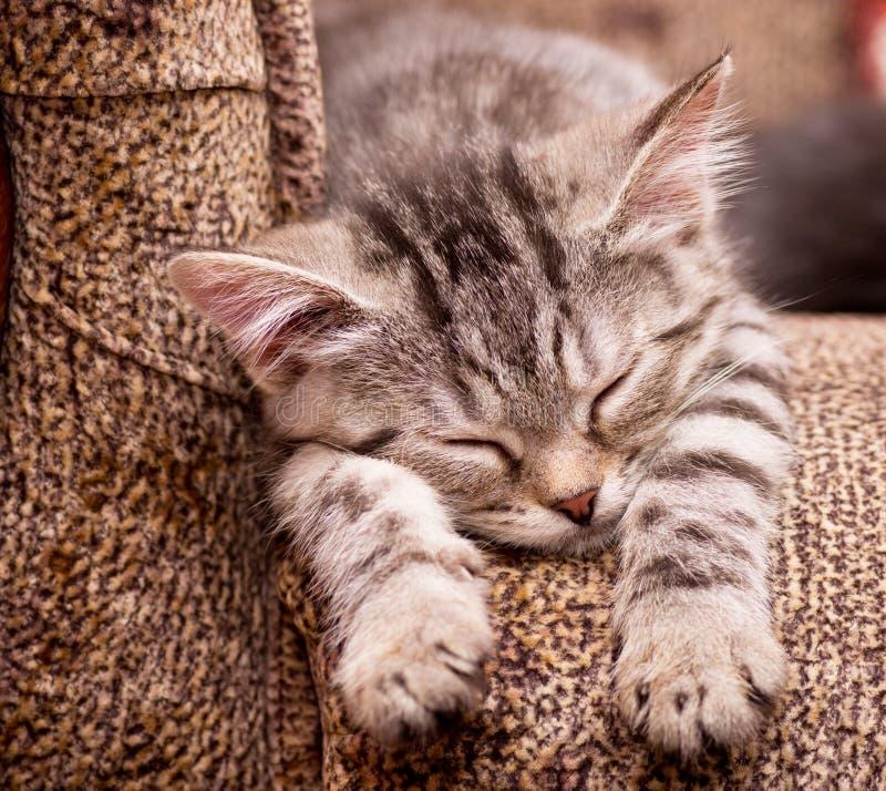 Красивейший шотландский молодой кот стоковые фото