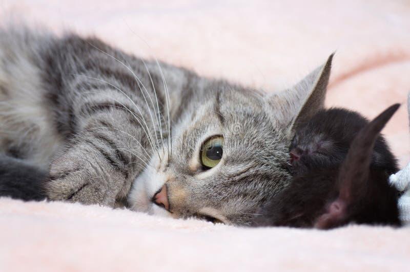 Красивейший шотландский молодой кот стоковые изображения rf