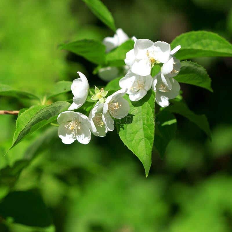 красивейший blossoming жасмин ветви стоковые фотографии rf