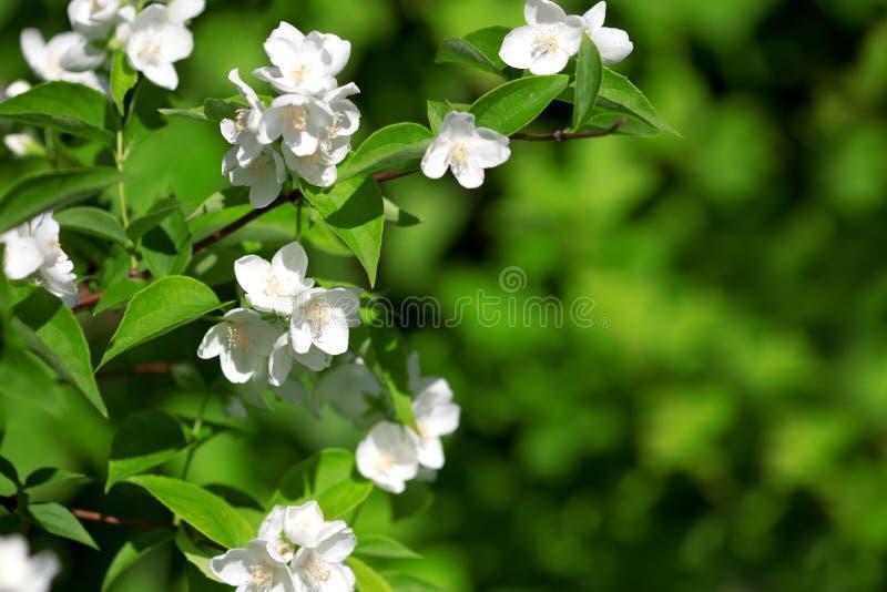 красивейший blossoming жасмин ветви стоковая фотография