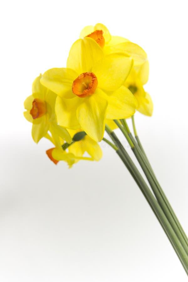 красивейший daffodil стоковые фото