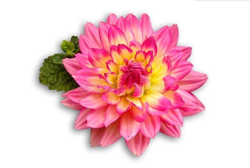 красивейший dalia совершенный стоковое изображение