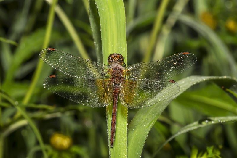 Красивейший dragonfly стоковое фото rf