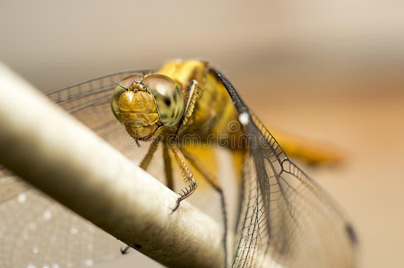 Красивейший dragonfly стоковые фотографии rf