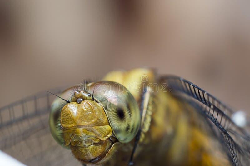 Красивейший dragonfly стоковое изображение rf