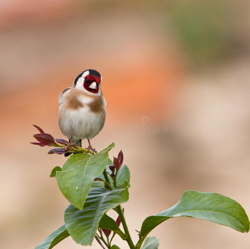 красивейший goldfinch стоковое изображение
