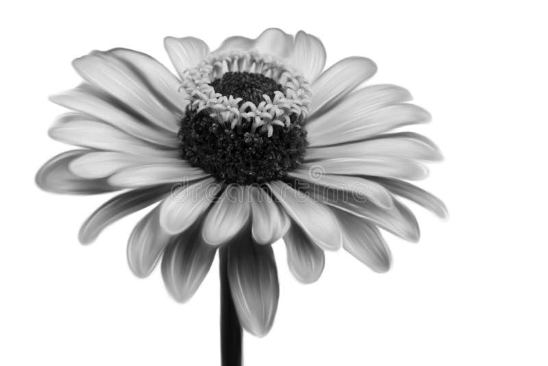 красивейший monochrome цветка крупного плана иллюстрация штока