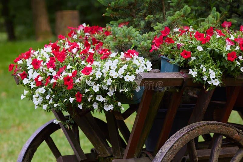 Красивое белое и красное hybrida петуньи цветков петуньи в баках стоковое фото rf