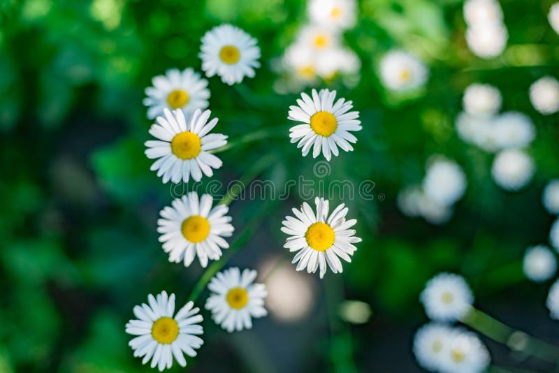 Красивое белое поле цветков маргаритки camomiles на зеленом луге стоковое фото