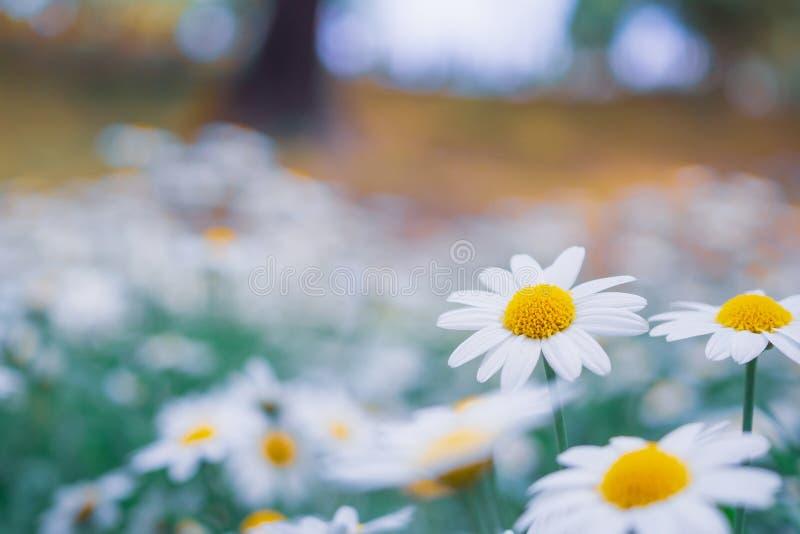Красивое белое поле цветков маргаритки camomiles на луге стоковое фото
