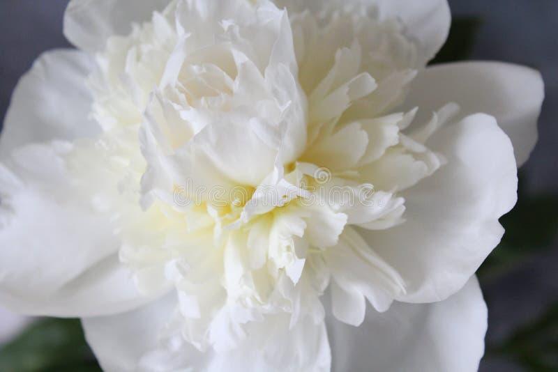 Красивое белое peonie стоковые изображения rf