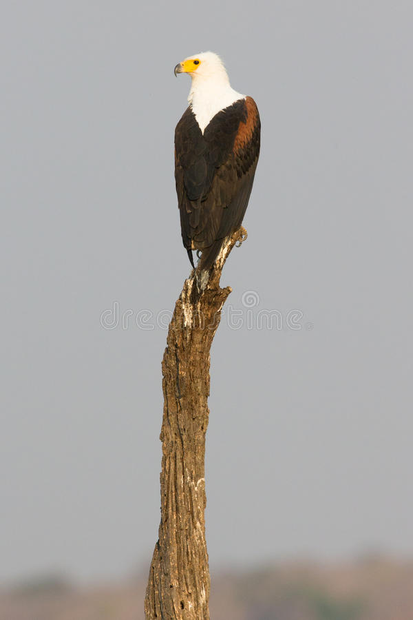 Красивое вертикальное фото африканского орла рыб стоковая фотография