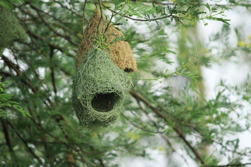 Красивое гнездо смертной казни через повешение ткача Baya стоковое фото rf