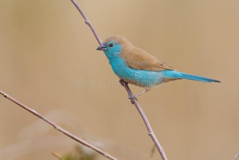 Красивое голубое waxbill сидит на тонкой ветви с симпатичным backgrou стоковые изображения rf