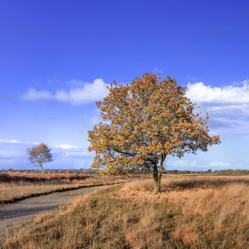 Красивое дерево в апельсине покрасило землю вереска на солнечный день осени, Нидерланды стоковые фотографии rf