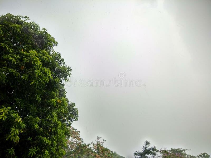 Красивое дерево манго в сезоне дождей стоковая фотография rf