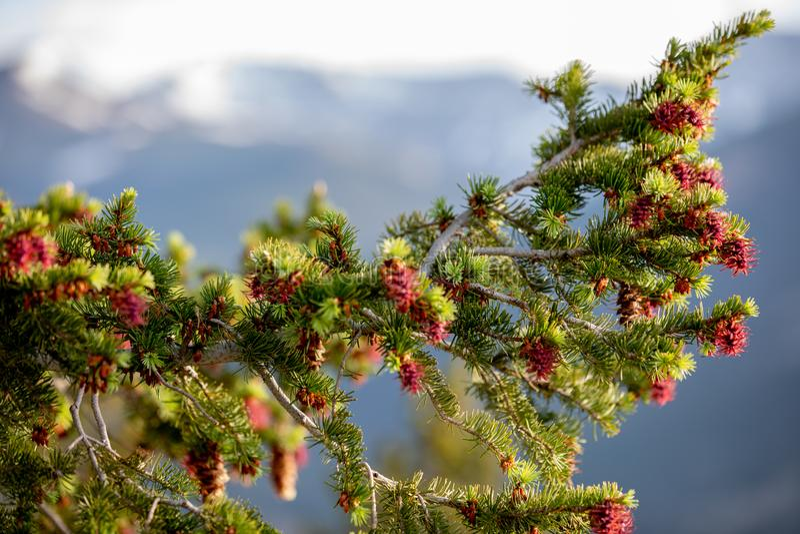 Красивое дерево с красным Pinecones на летний день с голубым небом и белыми облаками на национальном парке скалистой горы в Колор стоковое фото rf