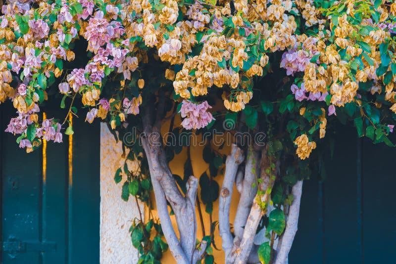 Красивое дерево с цветками в середине 2 входов двери к старому традиционному зданию стоковое изображение rf
