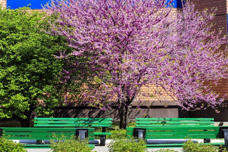 Красивое дерево Cercis с чувствительными розовыми цветками зацвело весной стоковое фото