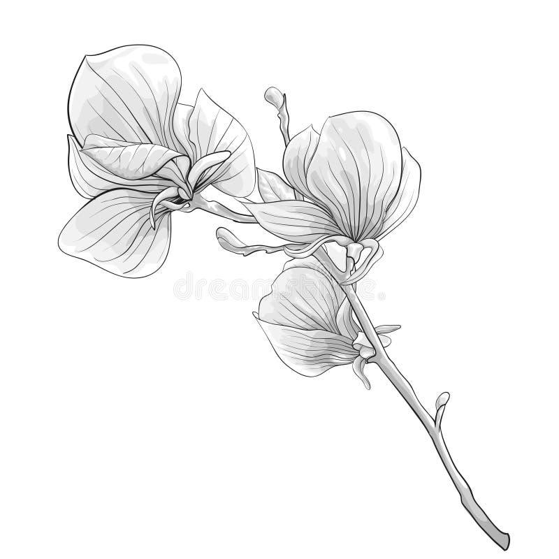 Красивое дерево магнолии monochrome, черно-белой хворостины blossoming изолированный цветок иллюстрация вектора