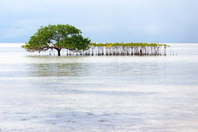 Красивое дерево мангровы растя на seashore стоковая фотография