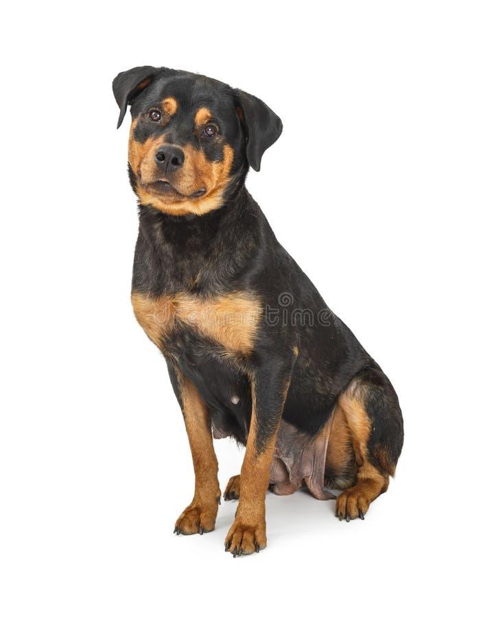 Красивое женское усаживание собаки Rottweiler стоковая фотография rf