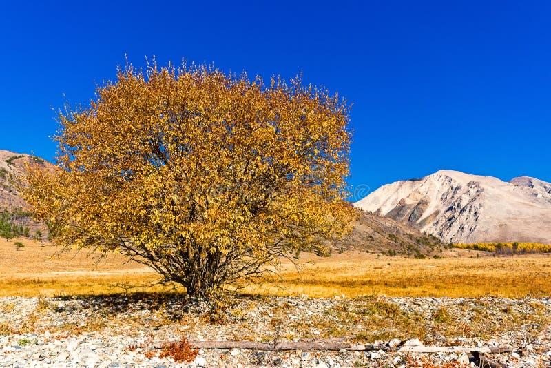 Красивое желтое дерево на береге Lake Baikal стоковое фото rf