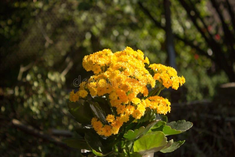 Красивое желтое kalanchoe стоковое изображение