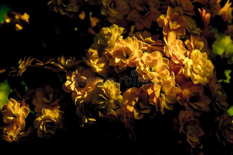 Красивое желтое kalanchoe стоковые изображения rf