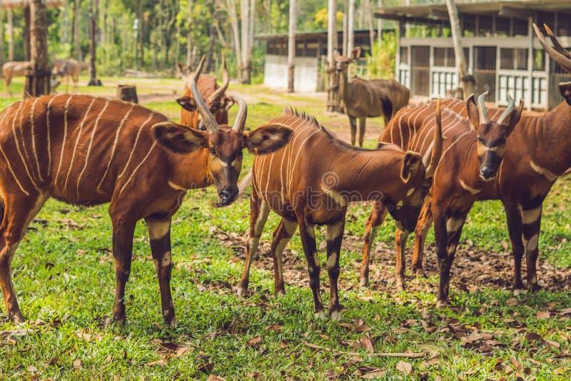 Красивое животное - большая восточная антилопа бонго, весьма редкое животное стоковые фото