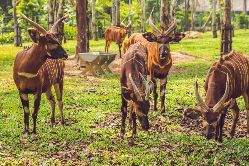 Красивое животное - большая восточная антилопа бонго, весьма редкое животное стоковое изображение