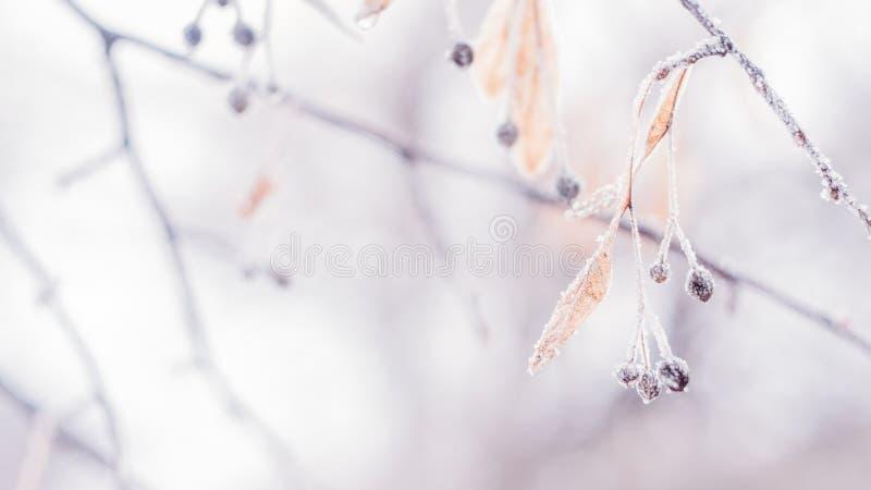 Красивое запачканное чувствительное знамя предпосылки природы заморозка зимы Покрытый лед, листья заморозка закрывает вверх Ветвь стоковые изображения