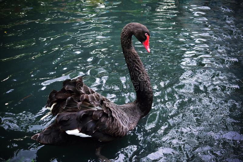 Красивое заплывание черного лебедя в озере стоковые фотографии rf