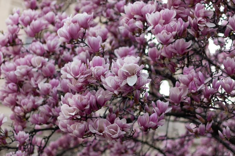 Красивое зацветая розовое дерево магнолии r стоковая фотография