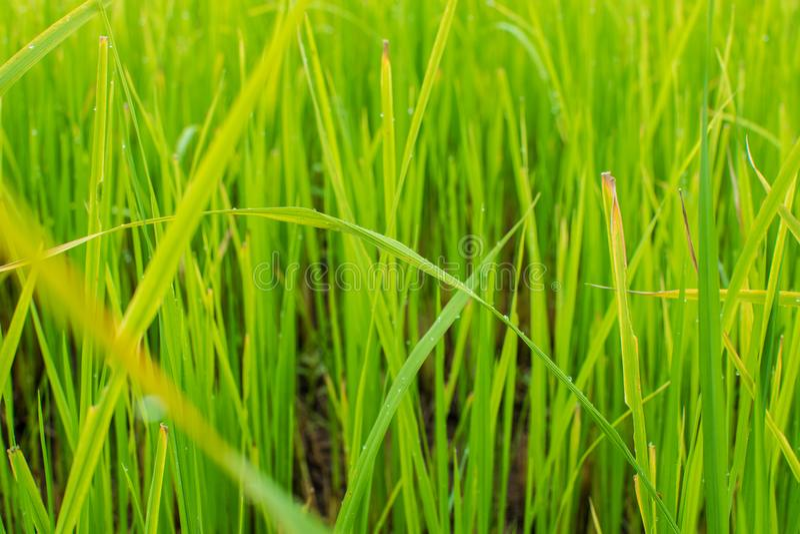 Красивое зеленое поле риса в фоне запачканного backgrou стоковые фото