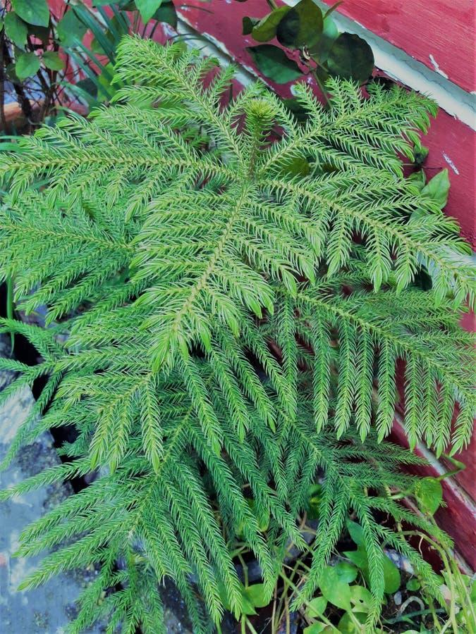 Красивое зеленое растение папоротника страуса стоковые изображения